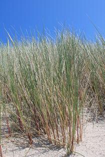 Deichgras - Strandhafer von wattfrucht