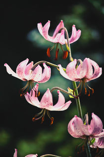Pretty Pink Martagon Lily Flowers by Vicki Field