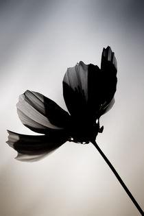 Schwarze Blume  by Bastian  Kienitz