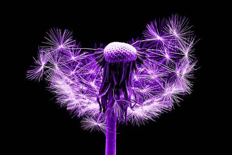 Pusteblume-014c-6000-purplecut-6000