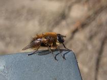 Die Fliege von Christian Haberäcker