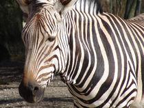 Zebra von Christian Haberäcker