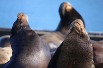 Sea Lions Sunbathing by timbo210