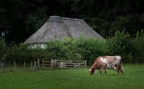 Ayrshire dairy cow von Leighton Collins