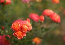 roses 1 von Ewa Bednarek