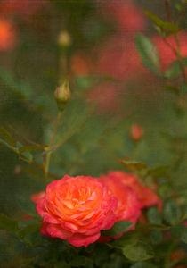 roses 2 von Ewa Bednarek