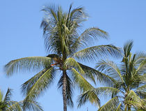 Palme, Bali von Christian Haberäcker