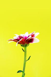 single flower von Les Mcluckie
