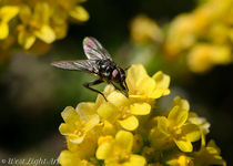 Fly on a flower by westlightart