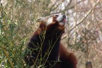 Roter Panda von Christian Haberäcker