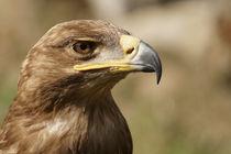 Raubadler - Aquila rapax  von ir-md
