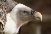Gänsegeier - Griffon Vulture by Markus Hartung