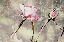 Rosen von Chris Berger