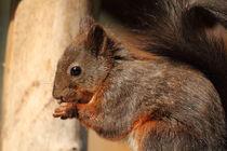 Eichhörnchen squirrel von Uwe Fuchs
