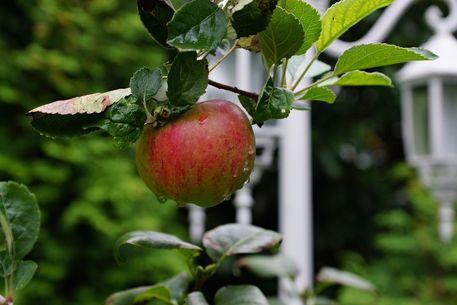 Apfel-002b