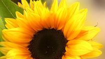 sun petals by Jacqueline Schreiber