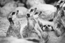 Meerkat Group von Patrycja Polechonska