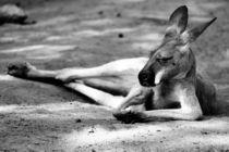 Sleeping Kangaroo Black and White von Patrycja Polechonska