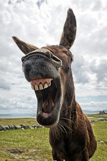 Laughing Donkey by Marion Galt