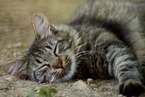 Sleeping cat by Anca Damian