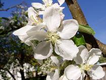 Apfelblüten von aaarts