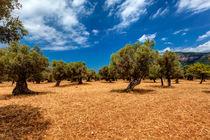 Mallorca - Olivenbäume by Jürgen Seibertz