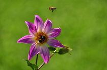 Dahlie mit Hummel und Biene von Mark Gassner