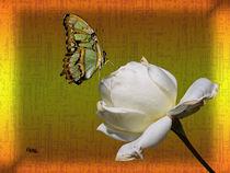 White Rose by Norbert Hergl