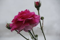 Rosen im Vordergrund von der-unigraf
