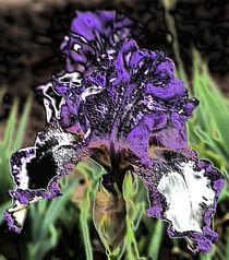 Bart-Iris in voller Pracht by Silke Bogorinski