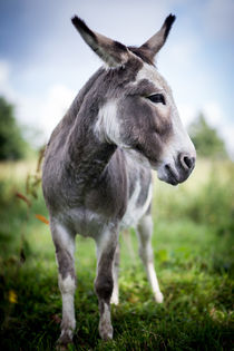 Donkey - Esel III von Ruby Lindholm