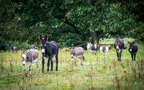 Donkey - Esel II by Ruby Lindholm