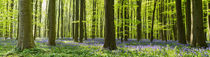 Bluebell woodland by Martin Beerens