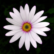 Osteospermum - African Daisy  by Steve H Clark Photography