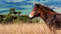 Exmoor Pony by Fliss Clooney