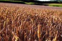 Weizen von Alexander Krieger