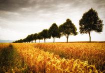 Bäume und goldenes Getreide im Sommer Naturpark Schönbuch von Matthias Hauser