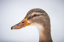 duck portrait II by Simon Andreas Peter