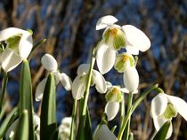Snowdrops by Fliss Clooney