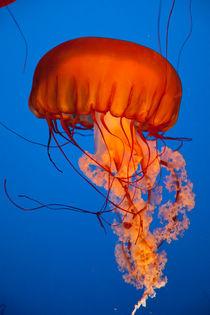 Jellyfish, Vancouver Aquarium, BC, Canada by Tasha Komery