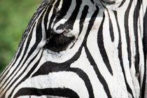 Zebra, Ngorongoro Crater von Tasha Komery