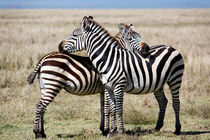Stripes, Serengeti von Tasha Komery