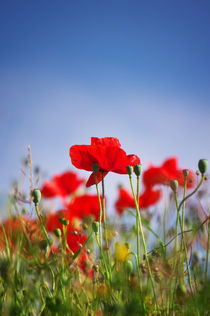 Red Poppies von AD DESIGN Photo + PhotoArt