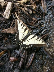 Papilio Canadensis by Caitlin McGee