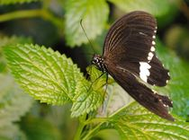 Papilio Polytes by Caitlin McGee