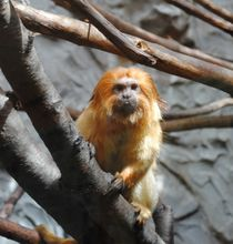 Golden Lion Tamarin, 2013