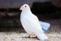 White Dove by Patrycja Polechonska