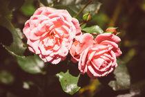 Pink Roses by Patrycja Polechonska