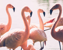 Pink Flamingo Flock von Patrycja Polechonska