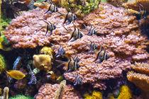 aquarium - pterapogon fish von Antonio Scarpi